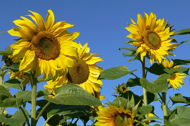 nature sunflowers102