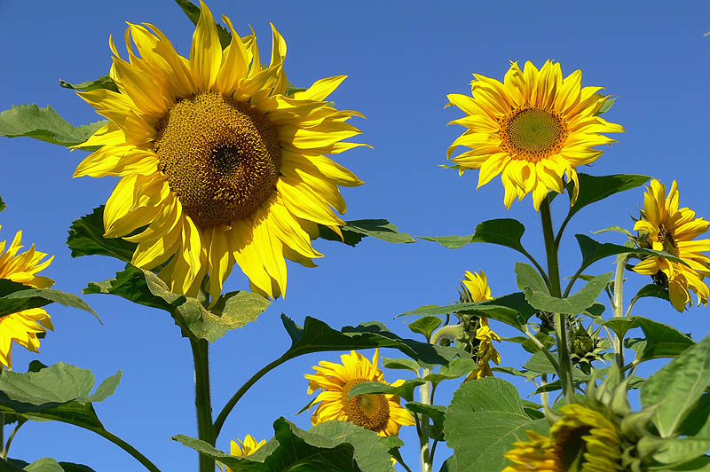 nature sunflowers104